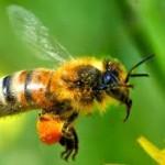 перга пчелиная
