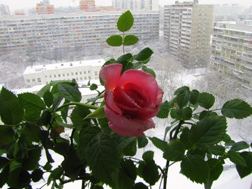 Роза в домашних условиях уход зимой